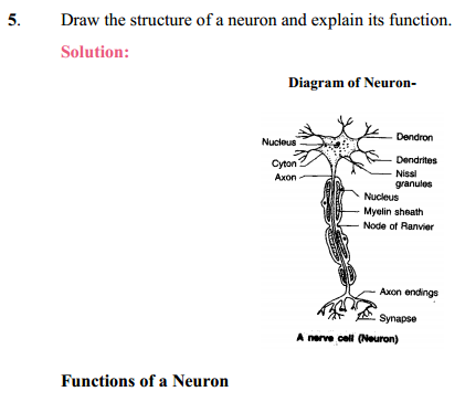 NCERT Solutions for Class 10 Science Chapter 7 Control and Coordination 4